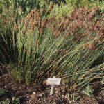 Restios / Grasses